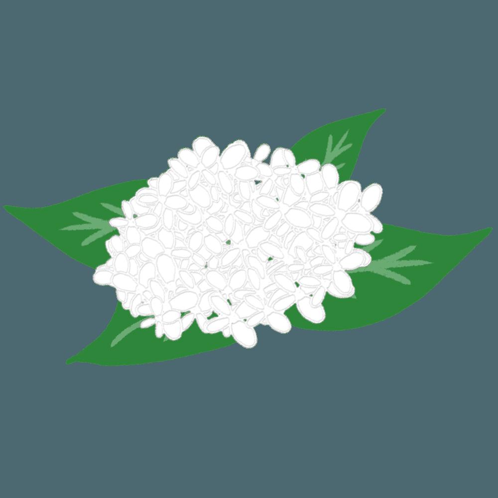 白いあじさいシンプルイラスト