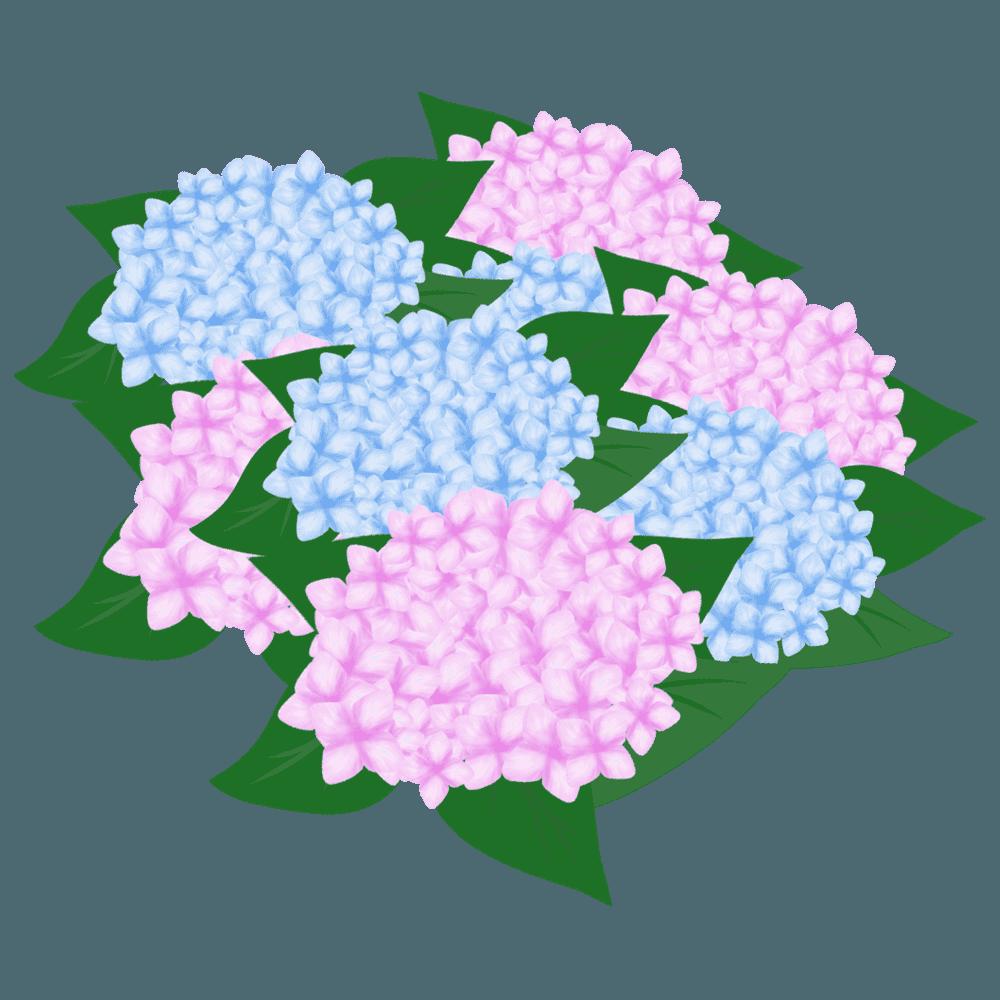 あじさいの花束イラスト