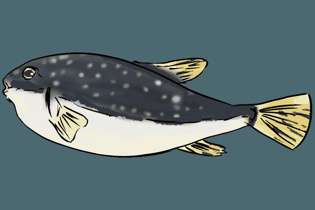 高級魚のとらふぐのイラスト
