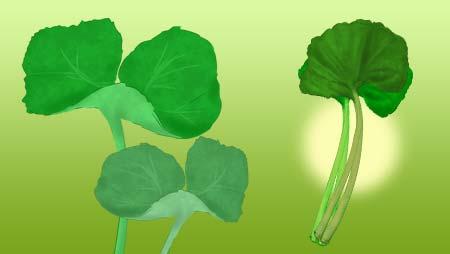 ふきのイラスト - 大きい葉っぱの山菜野菜の無料素材