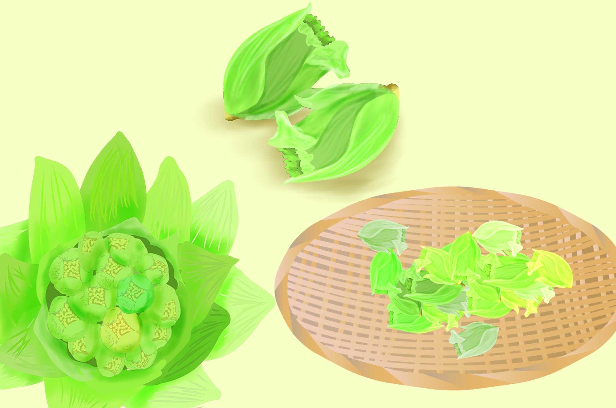 フキノトウのイラスト - 季節の旬な山菜無料素材