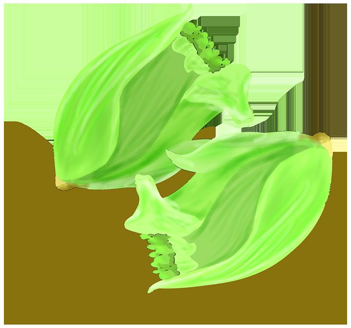 フキノトウのつぼみ(食用)のイラスト