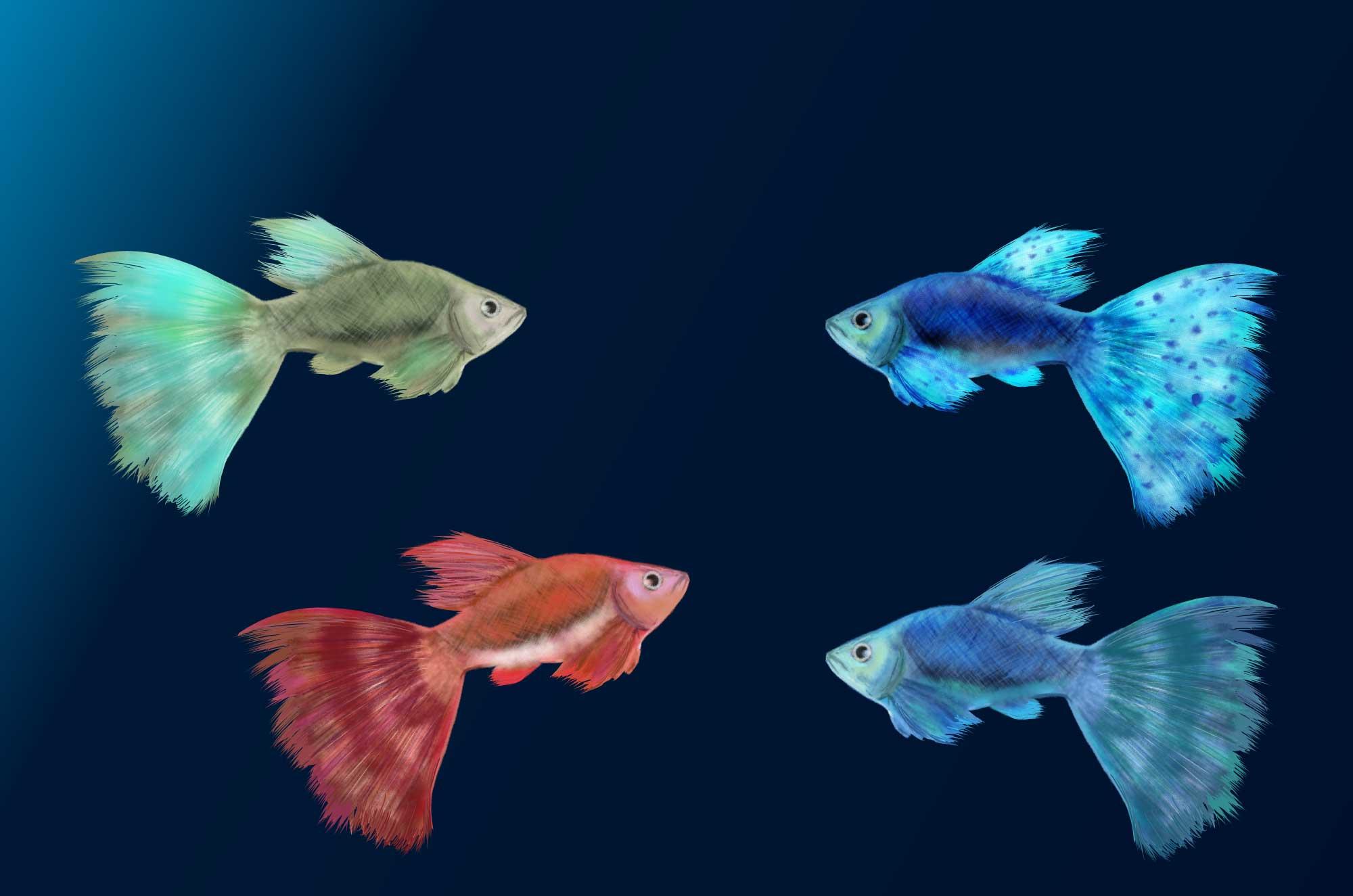 グッピーのイラスト - 綺麗な観賞魚の無料素材