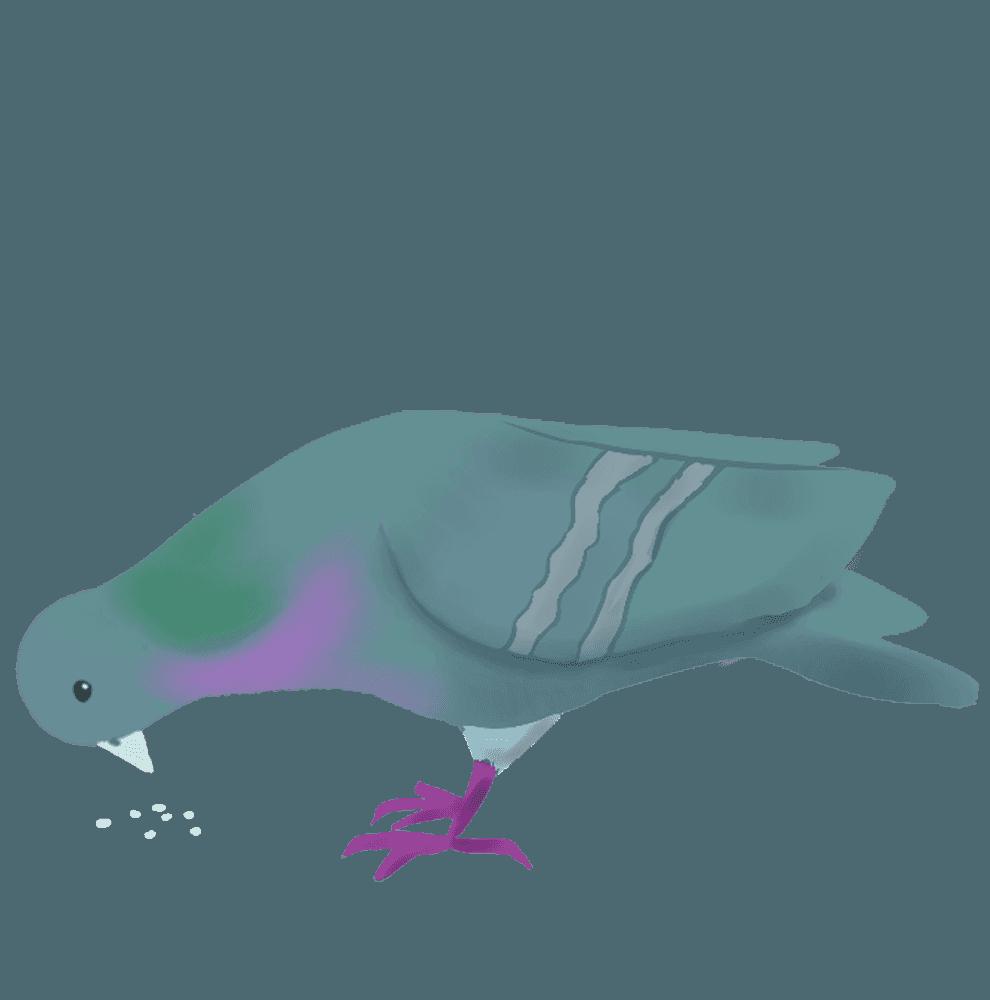 餌を食べる鳩のイラスト