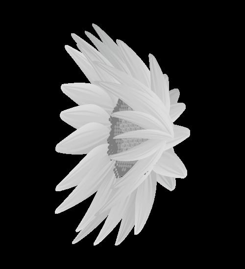 白黒ひまわりのイラスト22