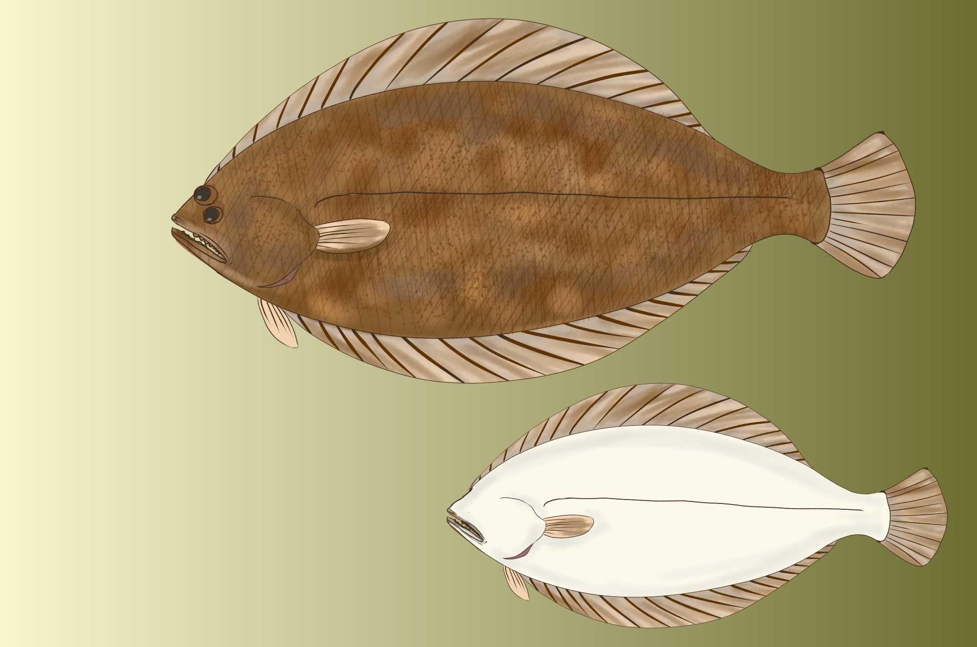 ヒラメのフリーイラスト 無料で使える魚の素材 チコデザ