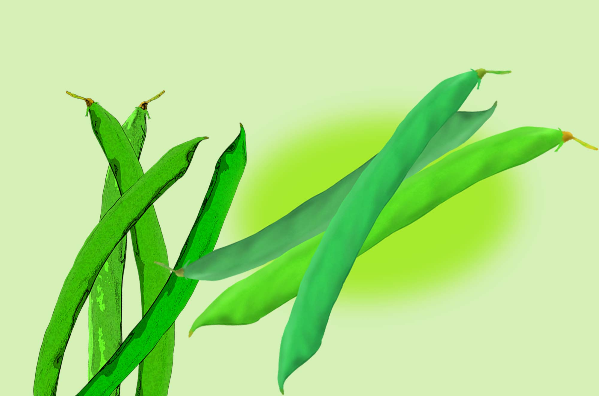 いんげん豆のイラスト - ひょろ長いマメ科の野菜無料素材