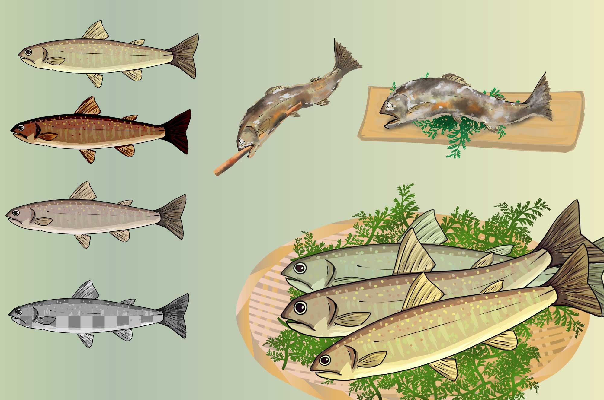 イワナのイラスト - 塩焼き・串焼き淡水の魚無料素材