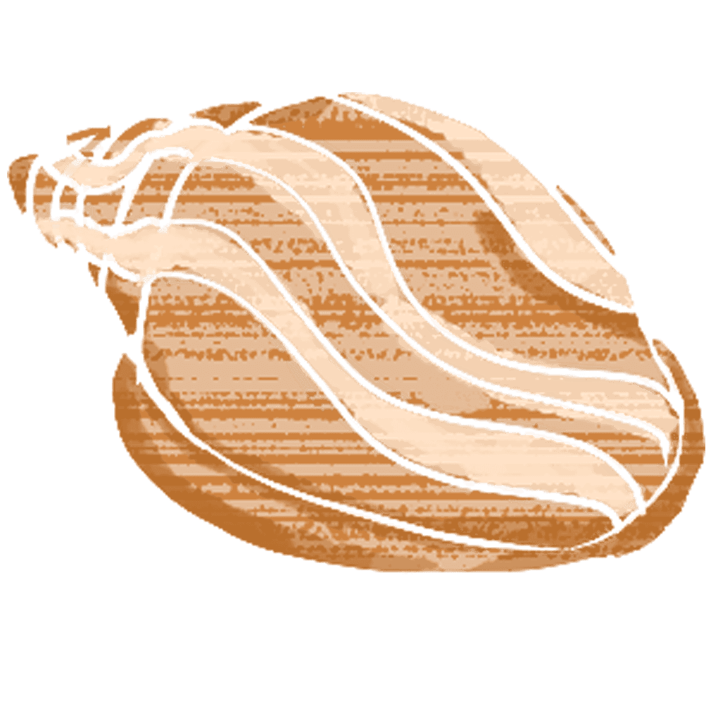 タカラガイの貝殻イラスト
