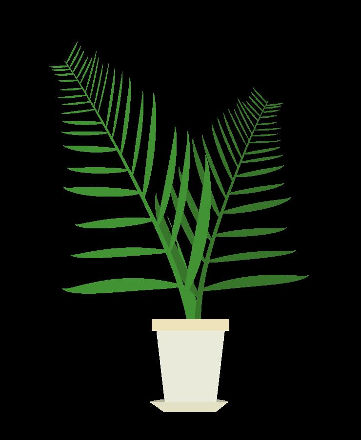 メキシコケンチャヤシのイラスト