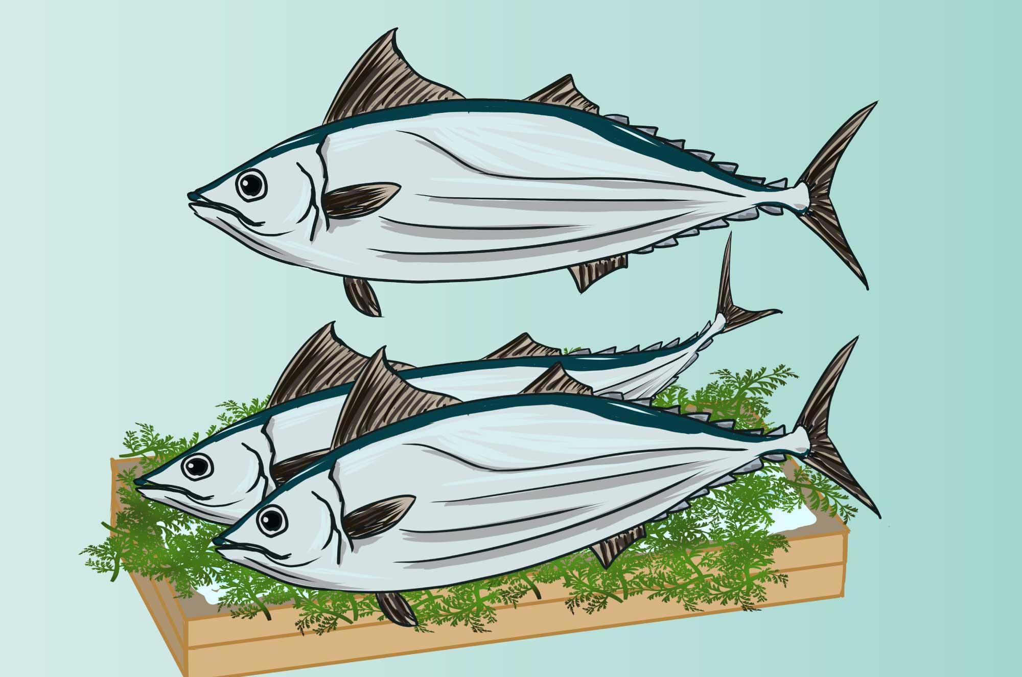 カツオのイラスト - 大型回遊魚のフリー素材