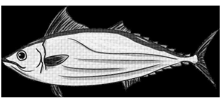 白黒印刷用のカツオのイラスト