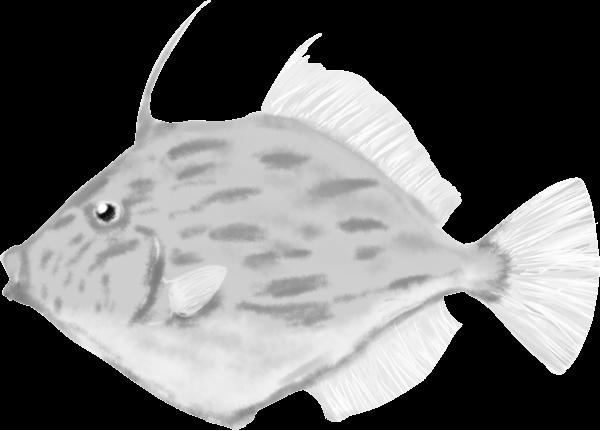 白黒水墨画のカワハギのイラスト