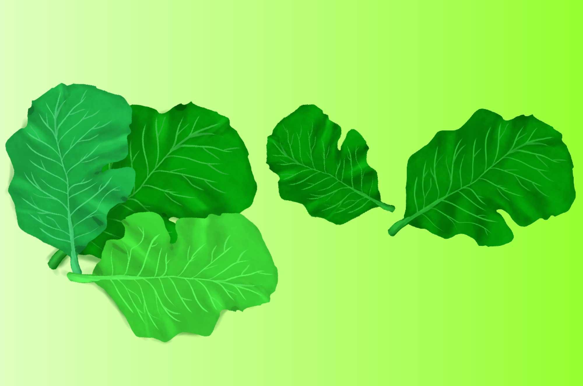 ケールのイラスト - 緑の大きい葉っぱの野菜無料素材