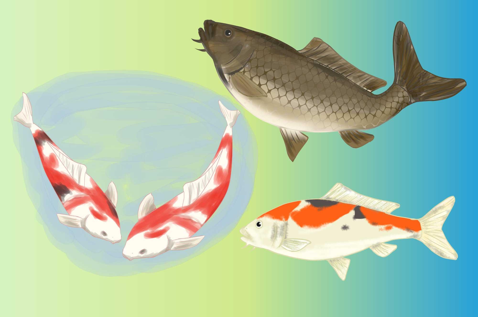 鯉のイラスト - 錦鯉・真鯉可愛い観賞魚の無料素材
