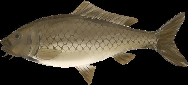 リアルな真鯉のイラスト