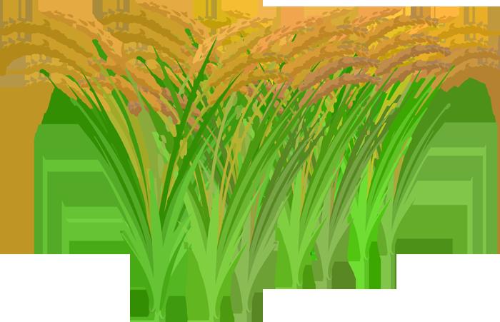 黄金に輝く稲のイラスト