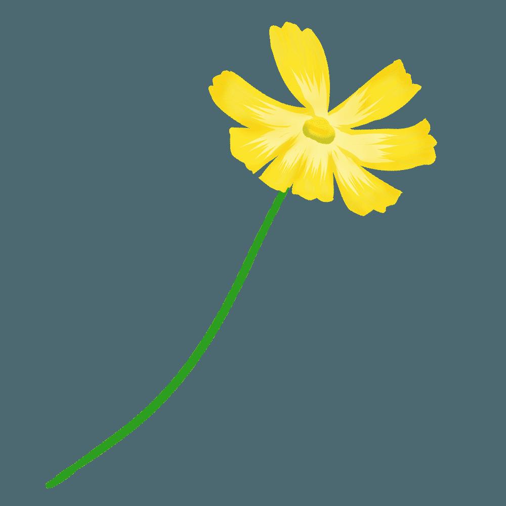 可愛い黄色のコスモスイラスト