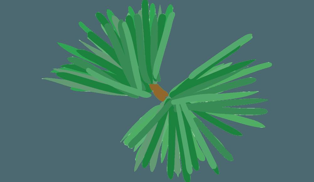 トゲトゲした松の葉のイラスト
