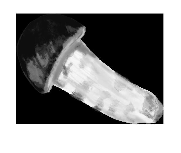 白黒の松茸のイラスト