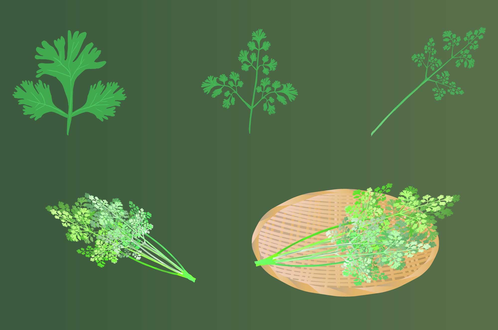 パクチー(コリアンダー)のフリーイラスト - 野菜無料素材