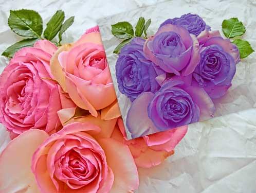 ピンク色の薔薇が紫色に置き換わった写真