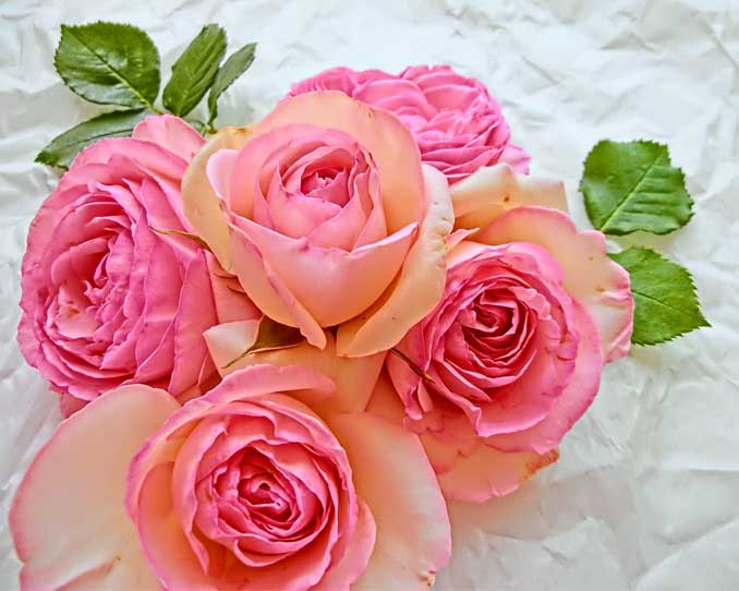 カラー変更前の薔薇の写真