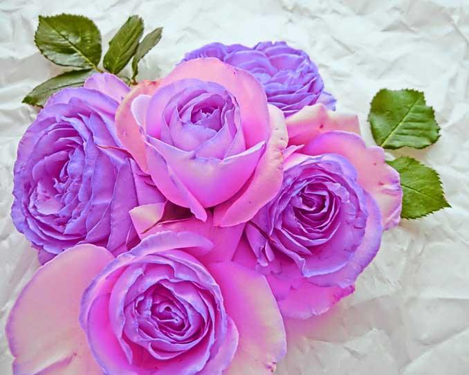 カラー変更後の紫色の薔薇の写真