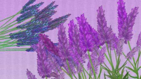 ラベンダーイラスト - 香り漂う紫の花の素材集★