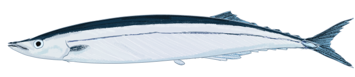 サンマ(秋刀魚)のイラスト