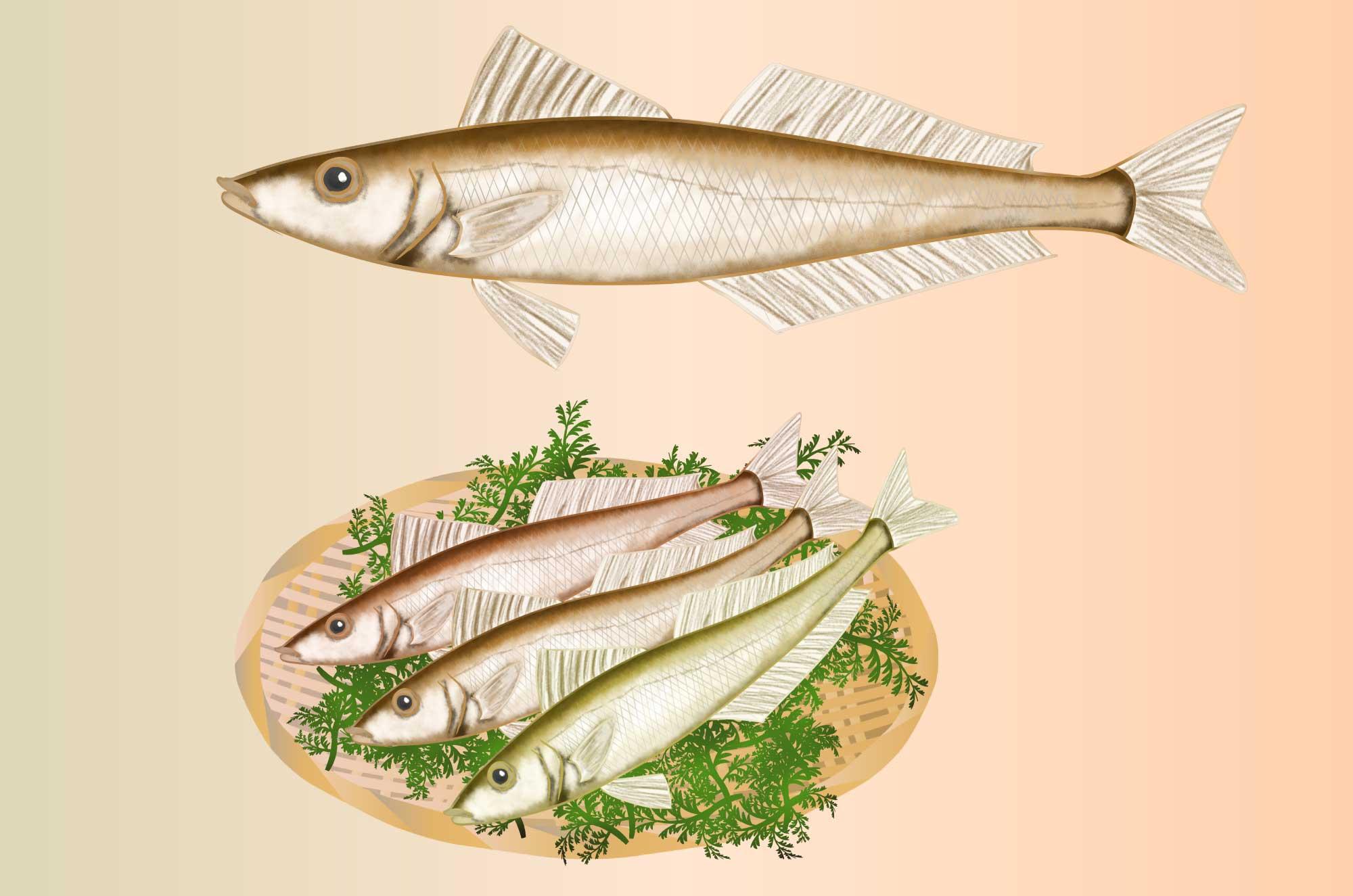シロギスの無料イラスト -  手書き魚のフリー素材