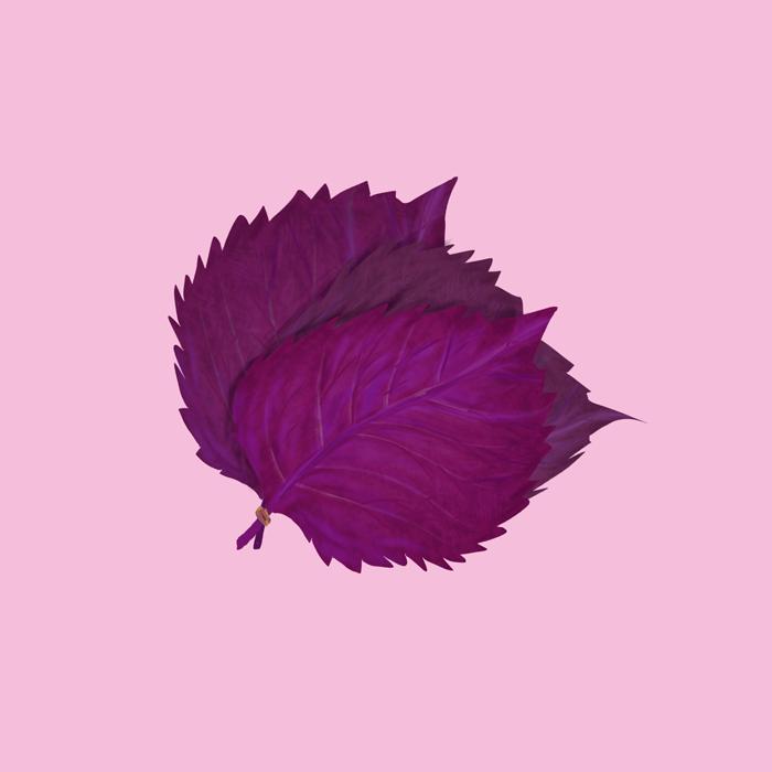 赤紫蘇の挿絵イラスト