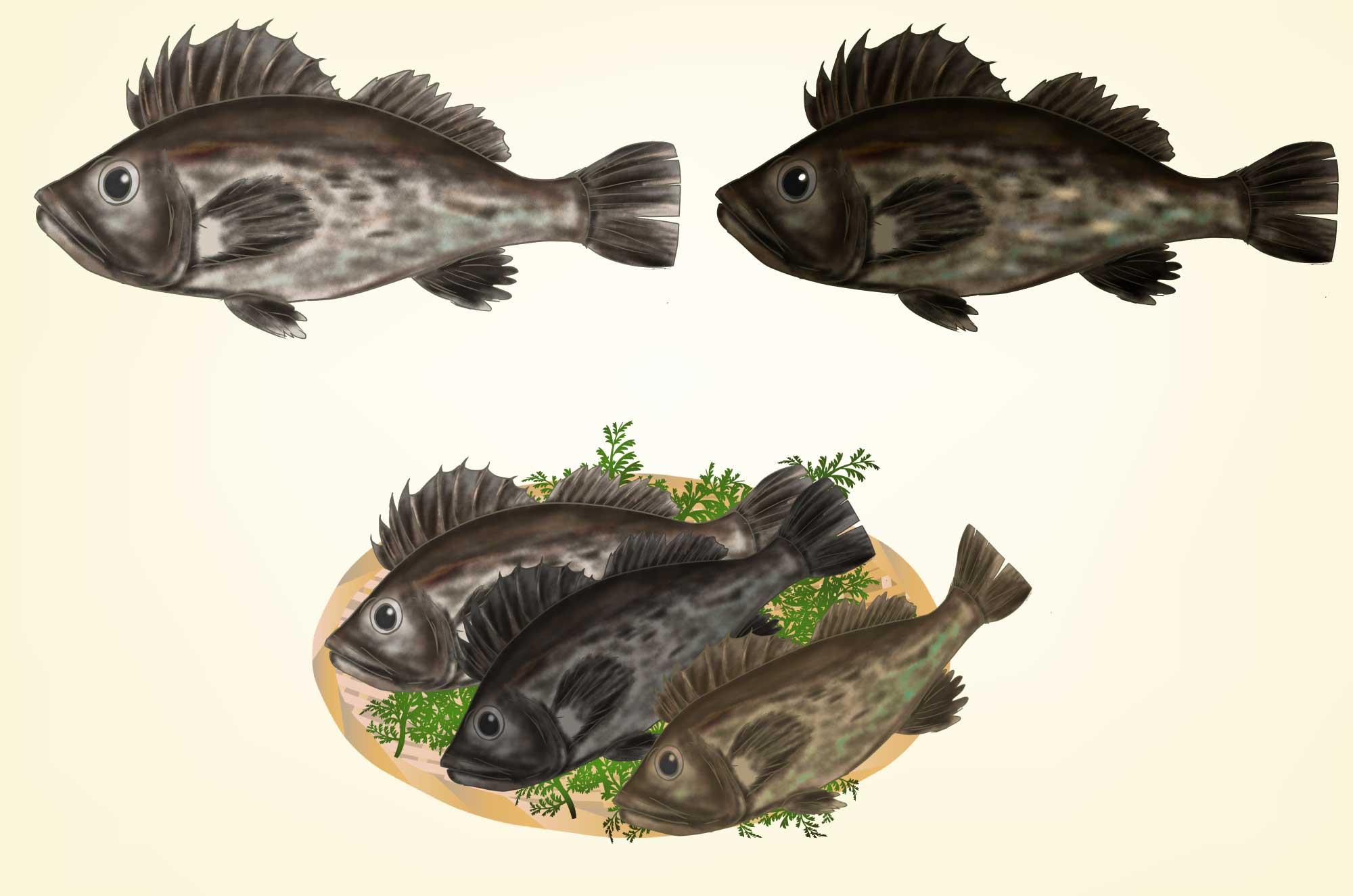 ソイの無料イラスト - クロソイ、マゾイの魚の素材