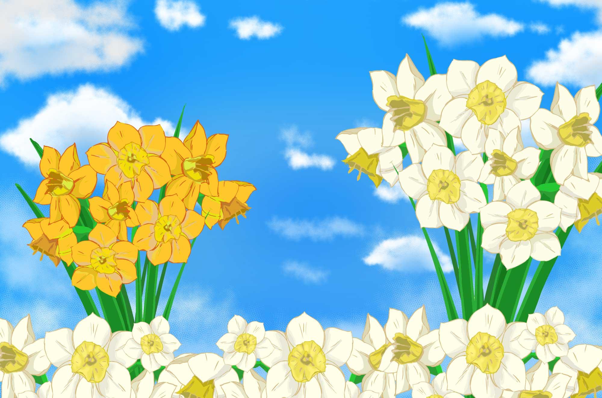 スイセンのフリーイラスト - 白・オレンジの花びら