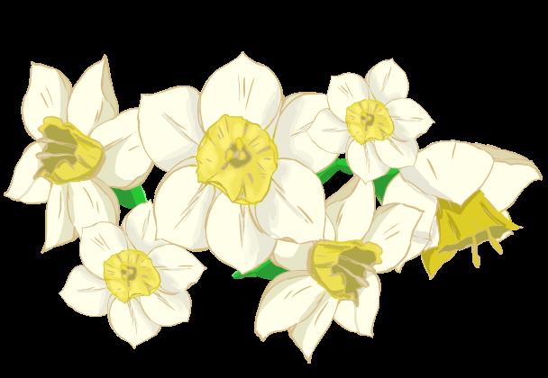 スイセンの花びらのイラスト