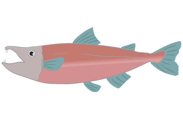 ベニ鮭のイラスト