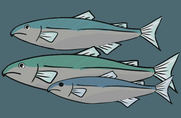 鮭の群のイラスト