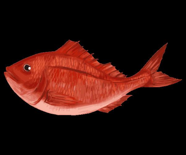新鮮手書の鯛のイラスト