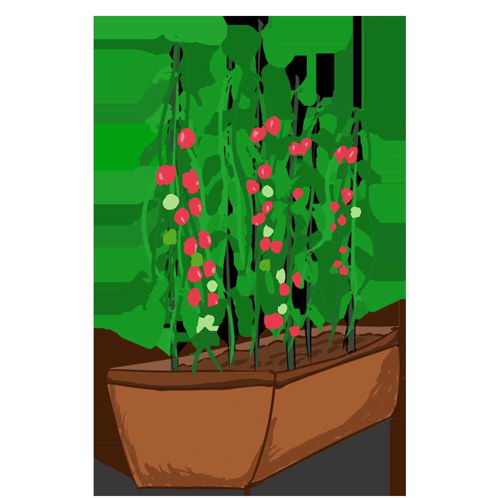 プランターとトマト