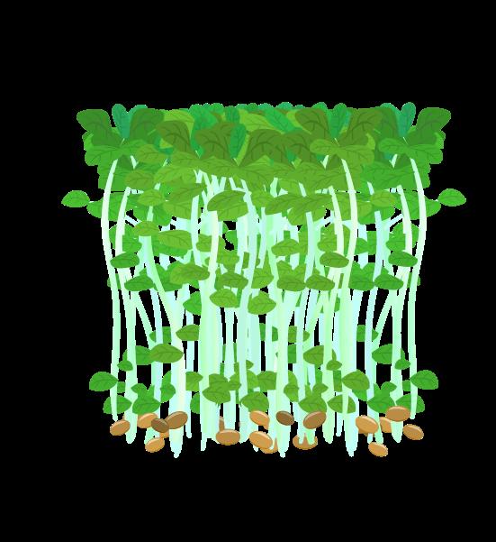根のない豆苗のイラスト