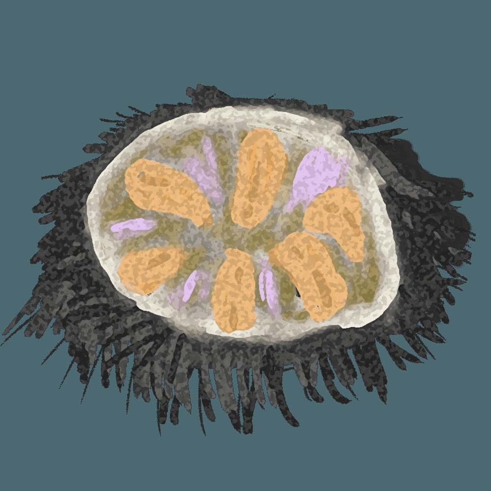 殻を割ったムラサキウニイラスト