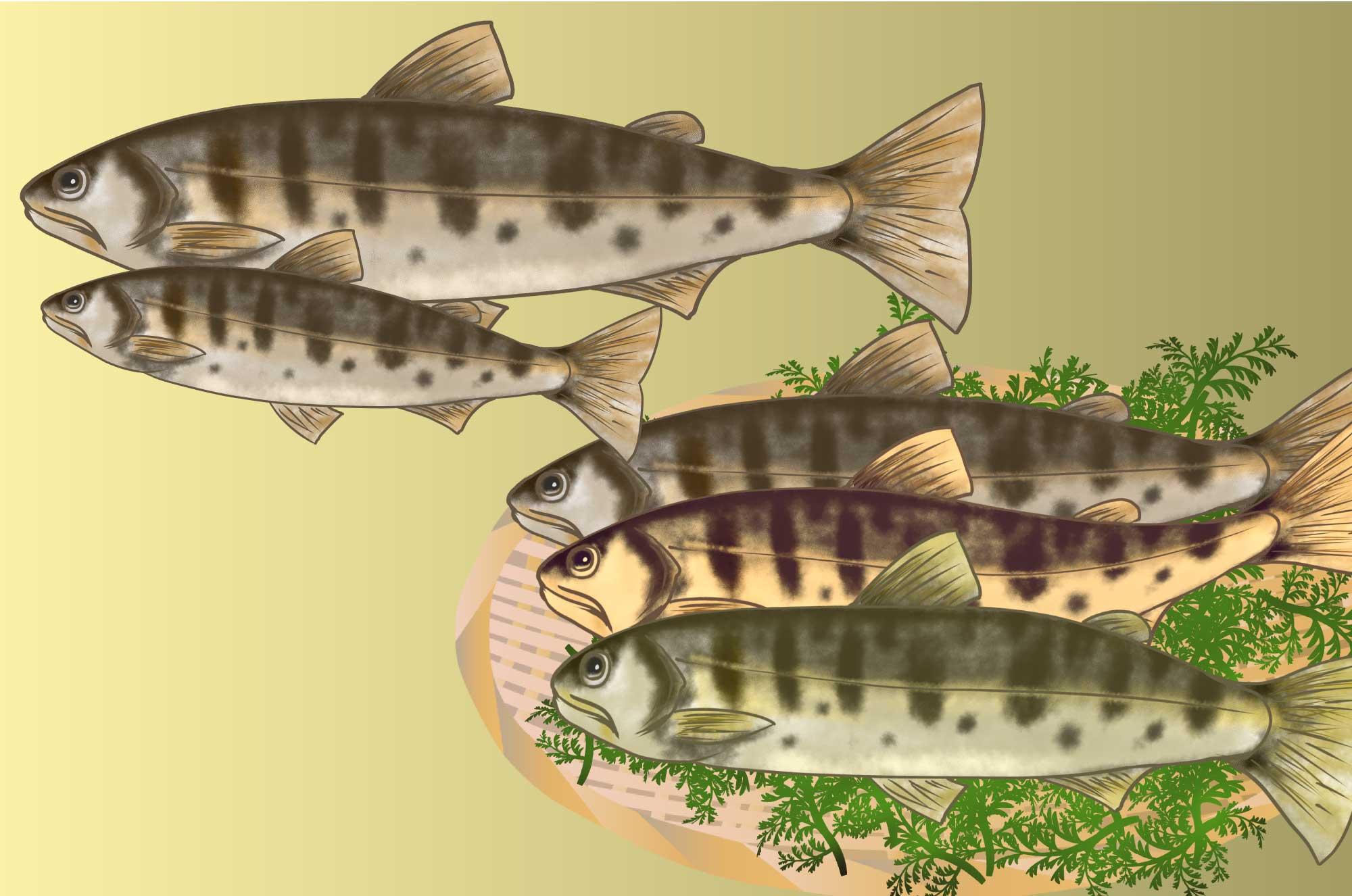 山女(ヤマメ)のイラスト - 手書きの淡水魚の無料素材
